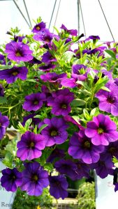 Need to add some life and color to the deck or yard? I am going to share with you the top 8 plants for hanging baskets! You can have color and life to your outdoor space in no time at all!