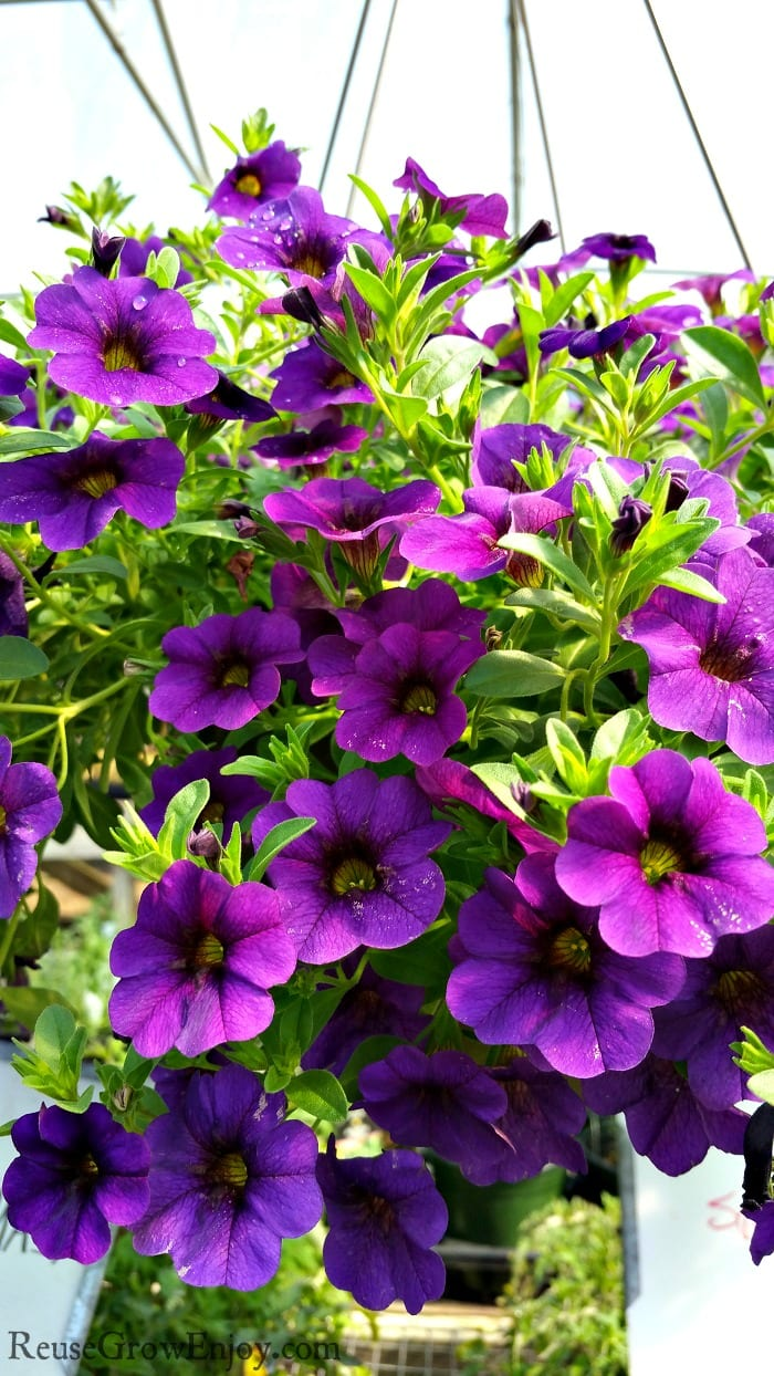 Hanging basket full of bright purple flowers.