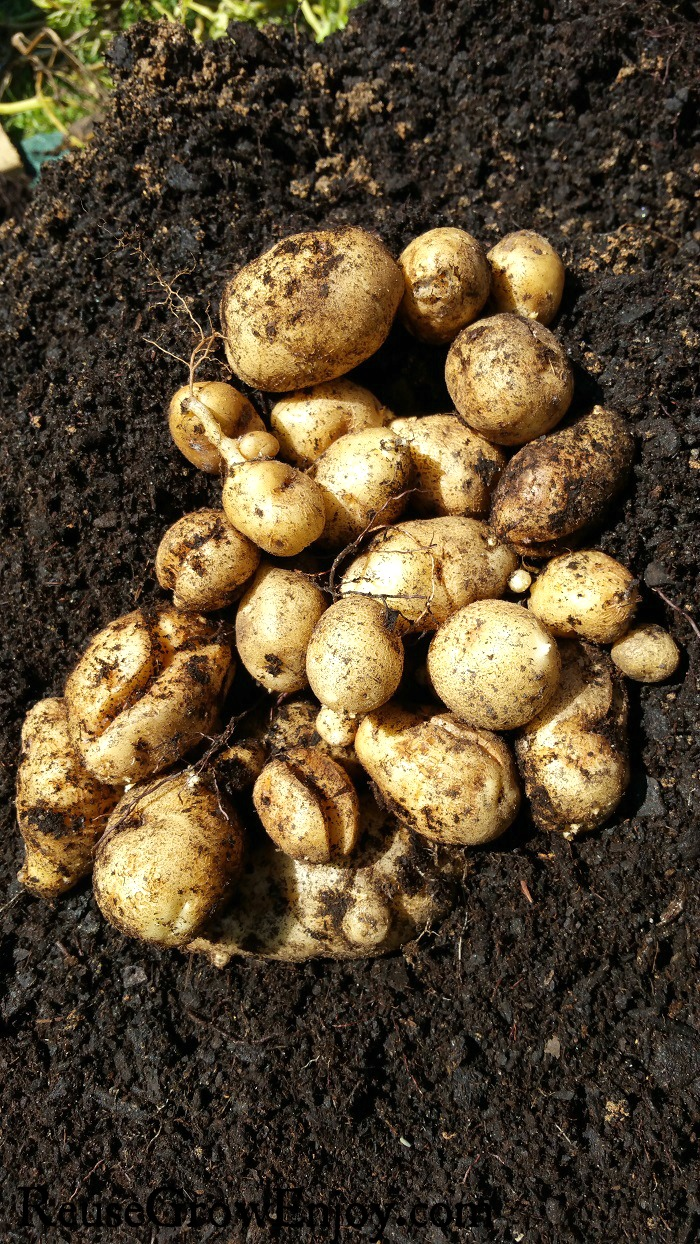 Pile of potatoes laying in dark rich soil.