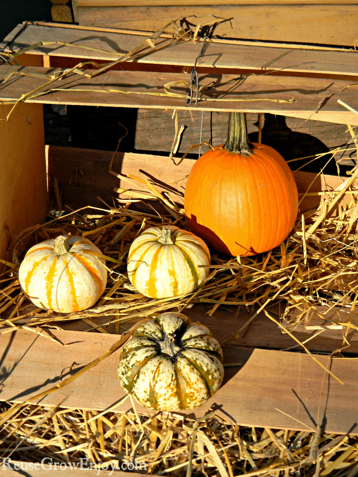 Pumpkin in wood box display with straw