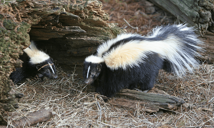Skunks in a log