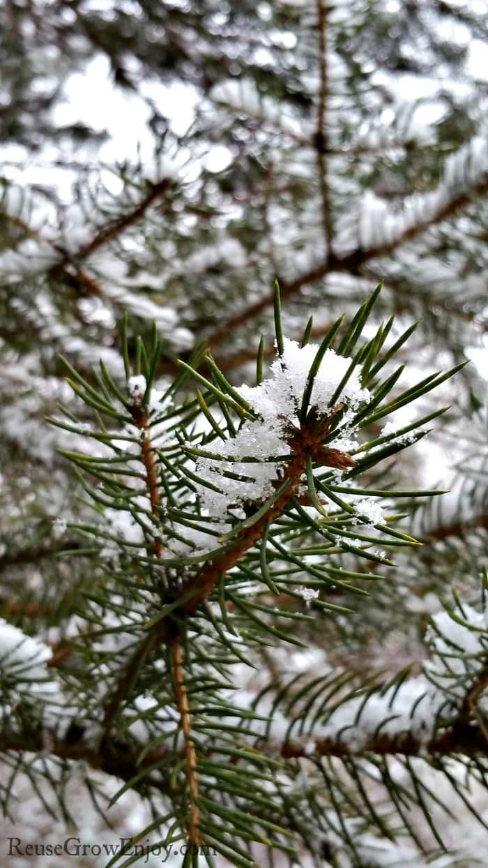 Snow on pine tree branches.