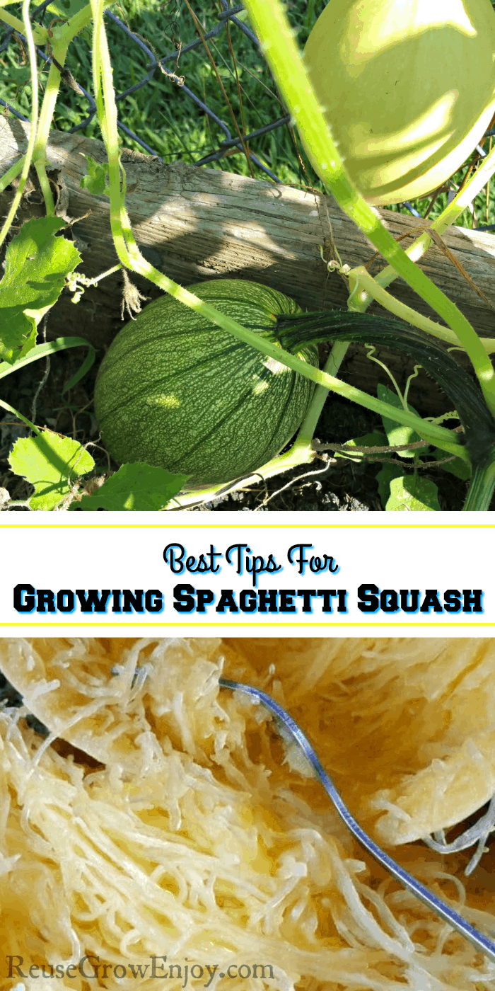 Spaghetti Squash Growing in raised bed and on fence at the top. Text overlay in middle and cooked spaghetti squash at the bottom.
