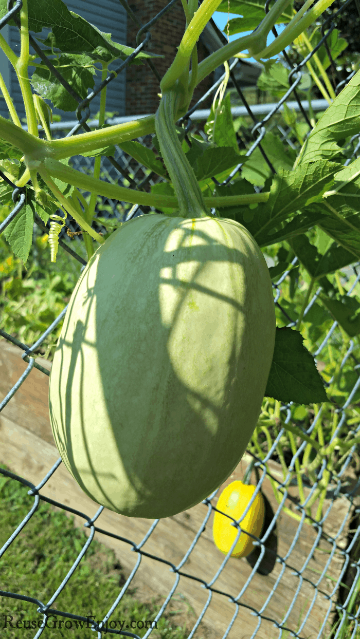 Spaghetti Squash Hanging On Fence