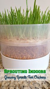 Have you thought of growing your own sprouts? Maybe for yourself or your chickens? Check out this post on Sprouting Indoors - Growing Sprouts For Chickens.