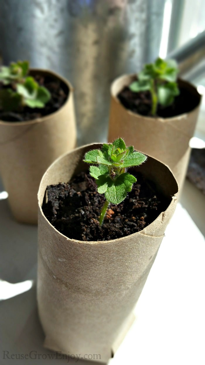 Three small green plants growing in cardboard tubes in front of a indoor window.