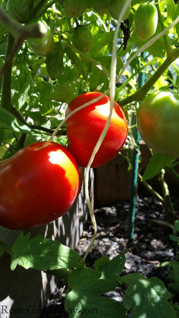 Big bright red tomatoes and a few green ones growing on a tomato plant.