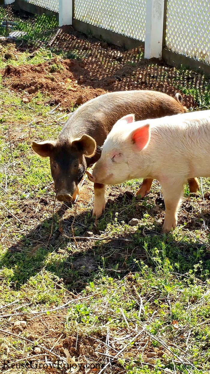 One brown pig and one pink pig rooting up a garden area.