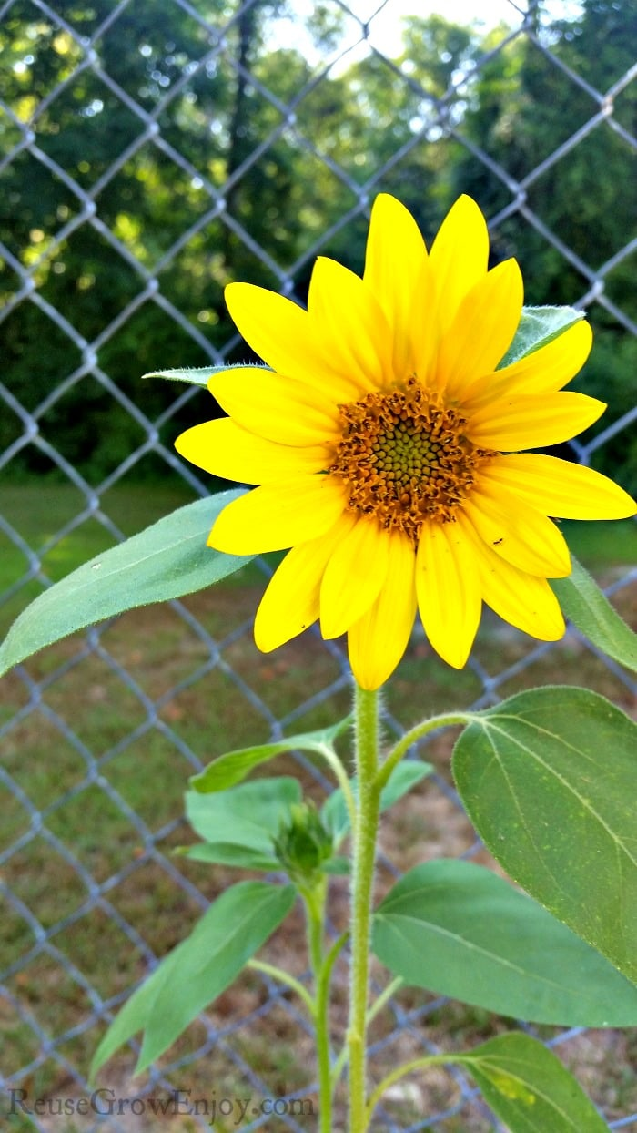 Sunflower In Yard with fence in background.