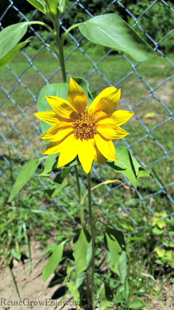Small sunflower with fence in background.