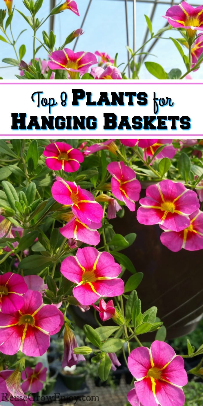 Hanging basket with pink flowers with yellow stripes. Text overlay that says Top 8 Plants For Hanging Baskets.