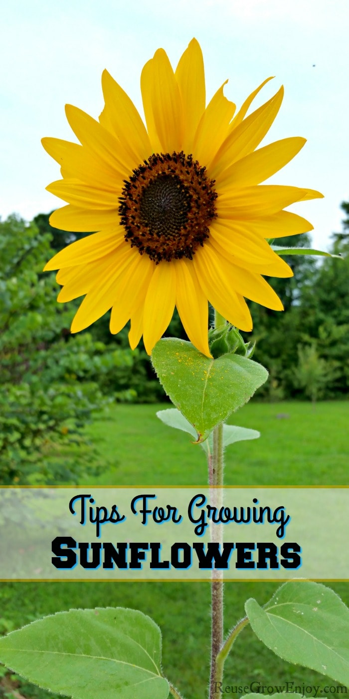 Sunflower with yard and trees in the background. Text overlay that says Tips For Growing Sunflowers.