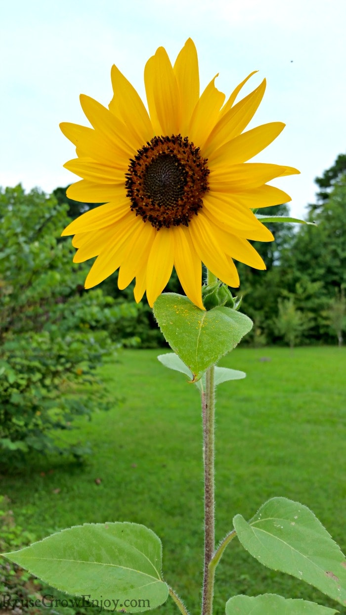 Growing sunflowers in the yard and trees in the background.