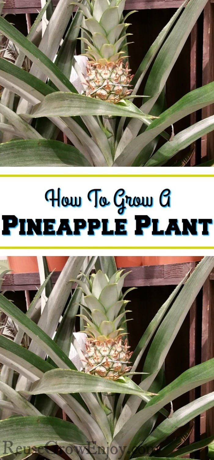 """Two small pineapples growing from plant with a text overlay in the middle that says """"How To Grow A Pineapple Plant""""."""