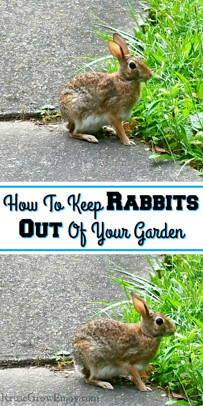 Two rabbits eating grass by sidewalk. Text overlay in middle that says How To Keep Rabbits Out Of Your Garden.