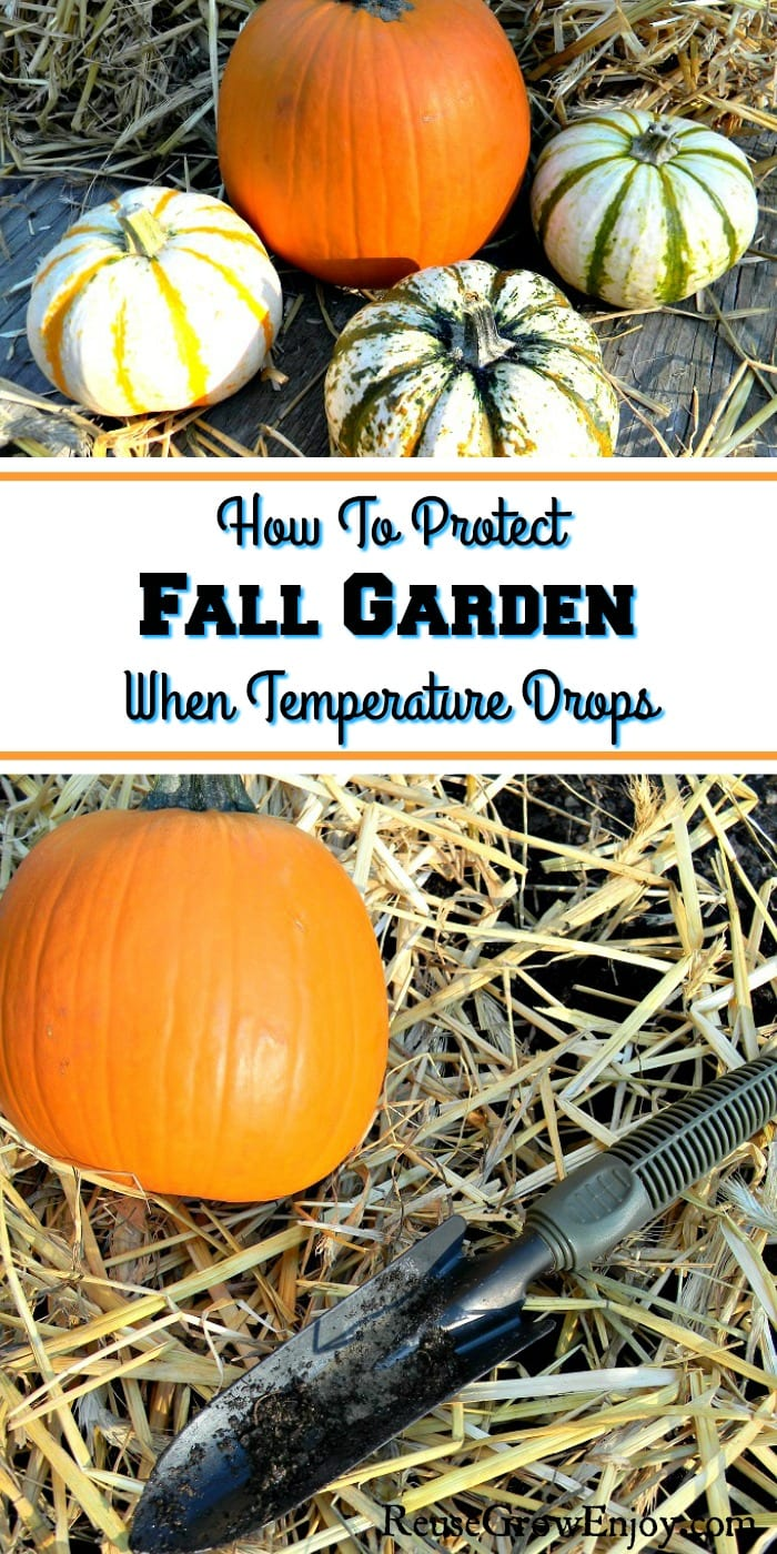 "Fall garden covered in straw with small hand shovel and orange pumpkin sitting on straw on the bottom half. Top half is small pumpkins and straw. In the middle there is a text overlay that says ""How To Protect Fall Garden When Temperature Drops"""