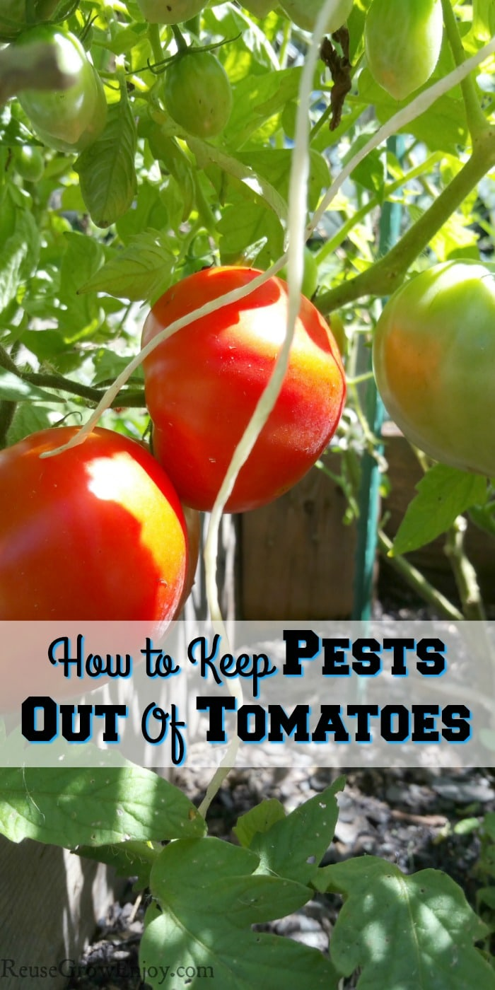 Red and green tomatoes growing with text overlay that says How To Keep Pests Out Of Tomatoes
