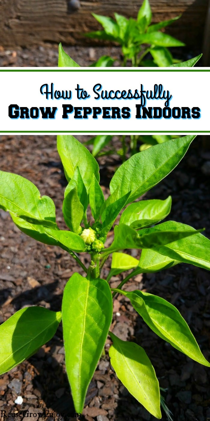 Can't have a garden outdoors but love fresh peppers? Did you know you can grow them indoors? I am going to share some tips on How to Successfully Grow Peppers Indoors!