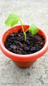 Tips On Growing Cucumbers In Containers