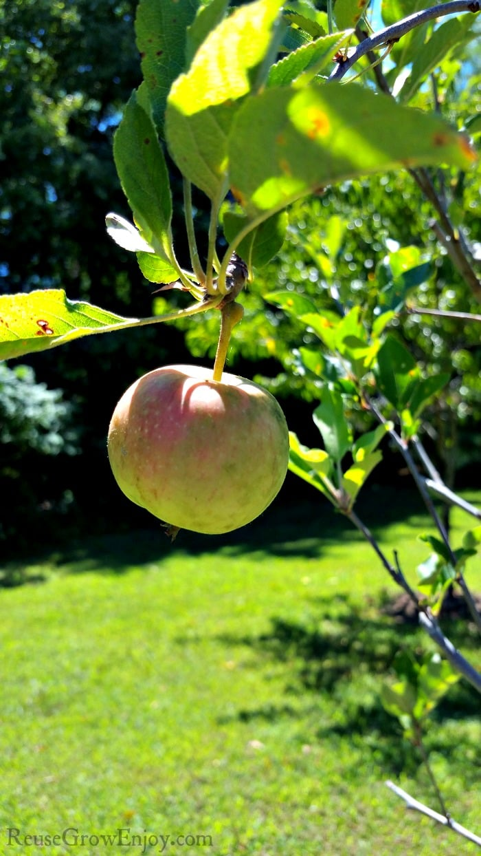 Are you wanting to plant some fruit trees and not sure where to start? I am going to share a few tips on growing fruit trees to help you get started.