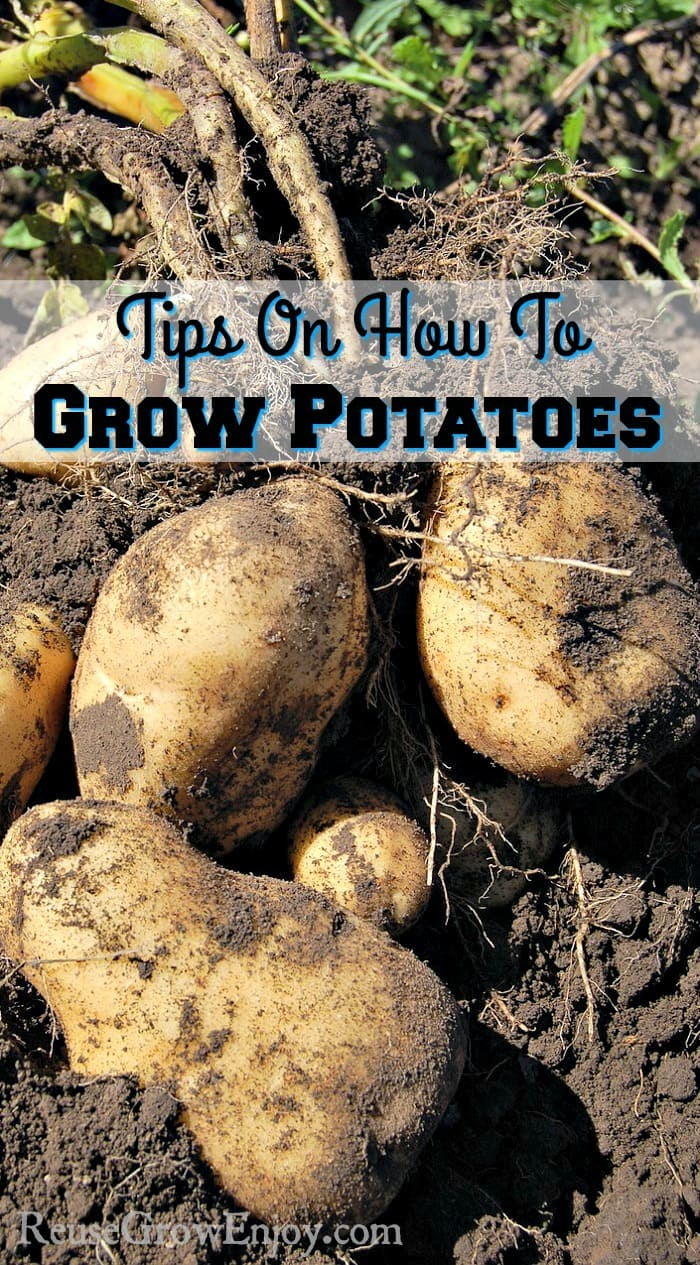 Are you thinking about growing potatoes this year? If you are not sure how, check out these tips on how to grow potatoes!