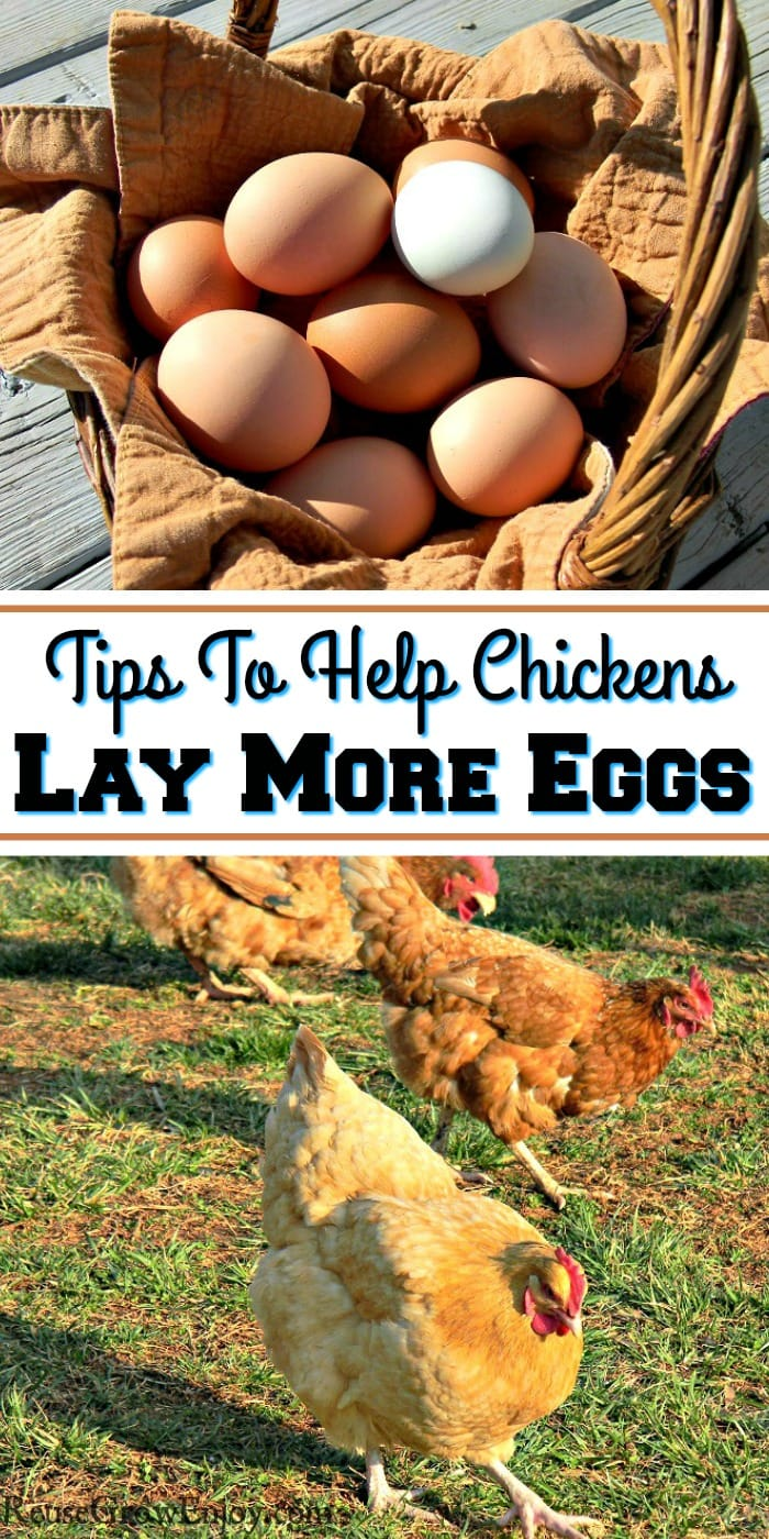 Top of the image is a basket full of fresh eggs. Bottom is three chickens scratching in grass. In the middle is a text overlay that says Tips To Help Chickens Lay More Eggs.