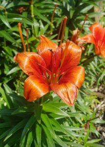 Bright orange lily in sunlight