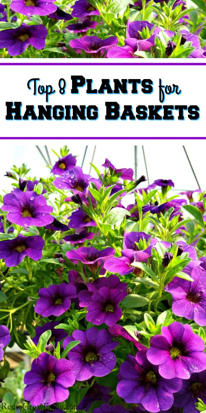 Hanging basket full of bright purple flowers with a text overlay that says Top 8 Plants for Hanging Baskets.