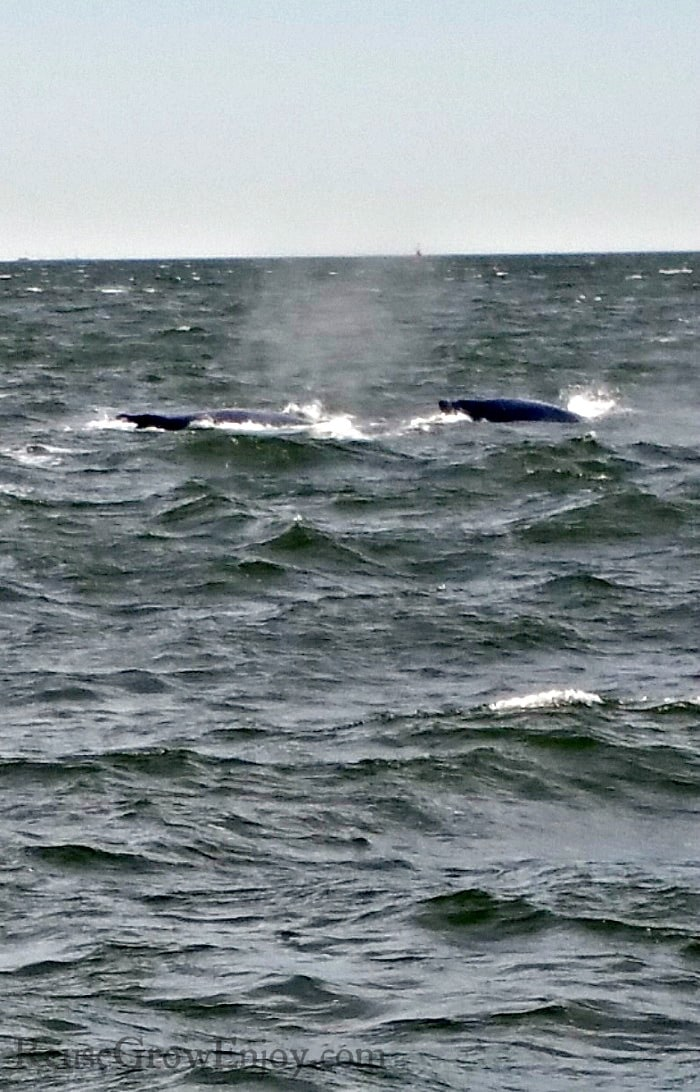 Two whales just showing above the water.