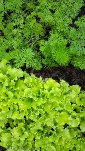 7 Vegetable Garden Plants That Grow in the Shade