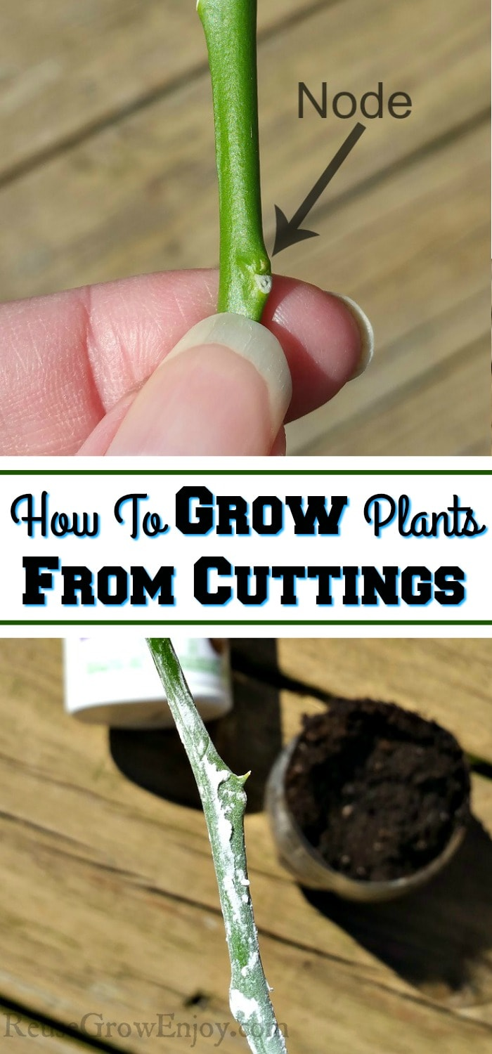 "Top is Fingers holding a plant cutting just below the node. Bottom is cutting dipped in growth hormone. Middle is text overlay that says ""How To Grow Plants From Cuttings""."