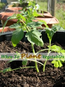 Small tomatoe plant planted in a pot with more in the background. Text overlay that says When To Plant Vegetables
