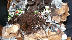 Worms added to worm composting bin