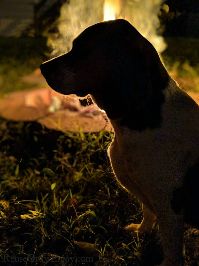 short leg beagle sitting in the dark in front of a campfire.