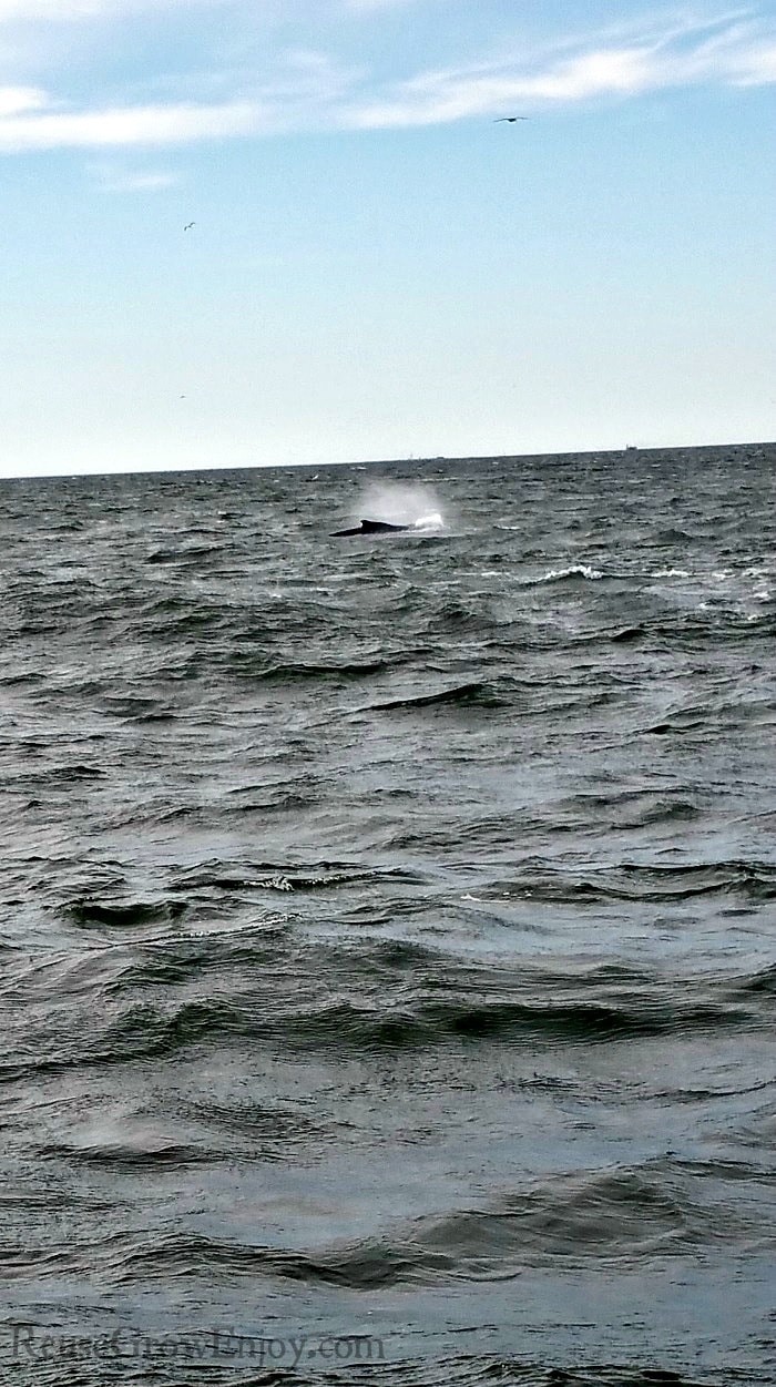 Whale blowing water from its blowhole.